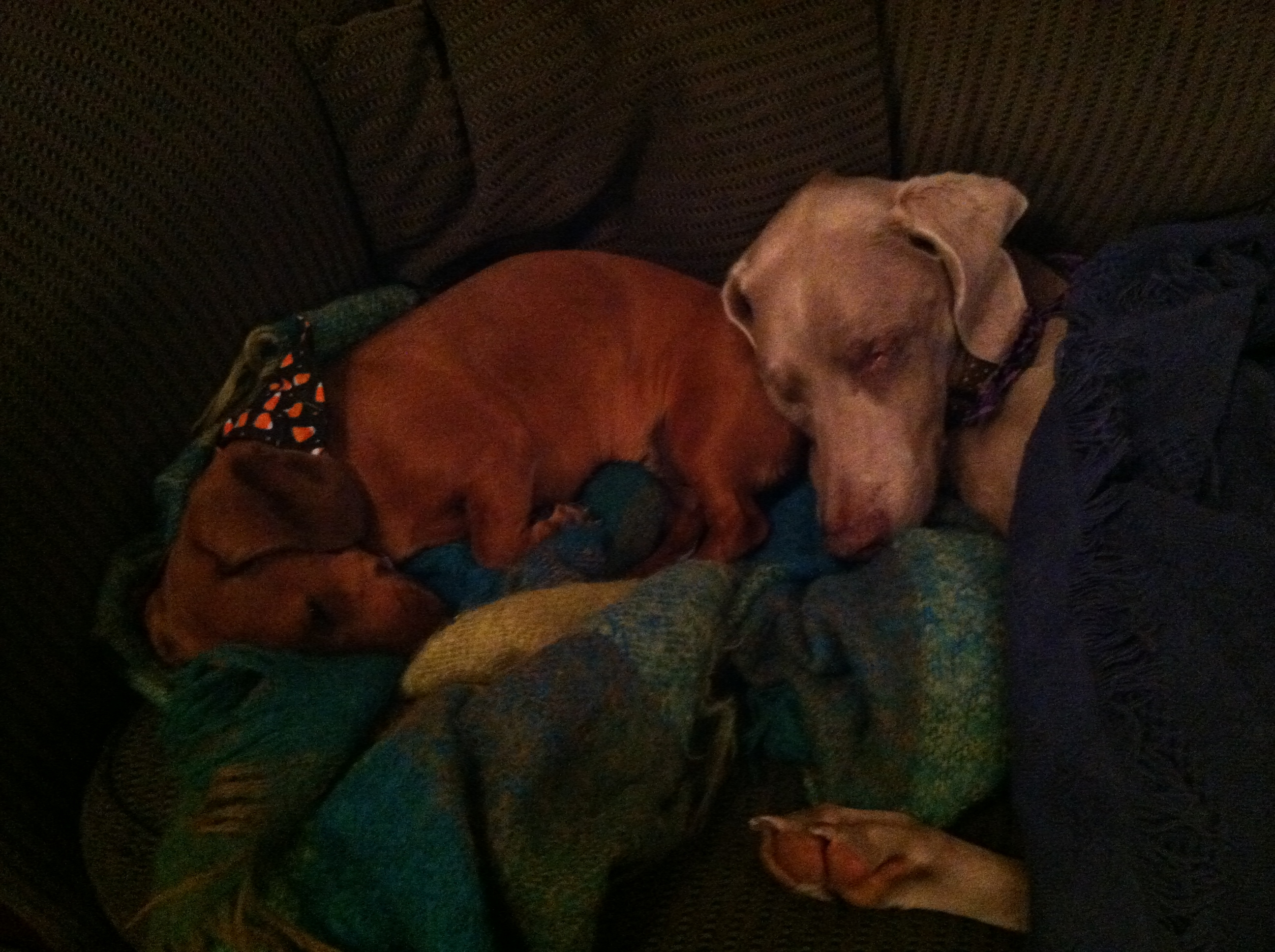 Sugarland is the min dachshund. Emma is the weimaraner, who is clearly enjoying the relaxed rules of hospice.